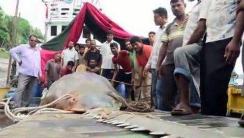 渔民捕获4米长巨型怪鱼 锯齿状长鼻引人好奇围观