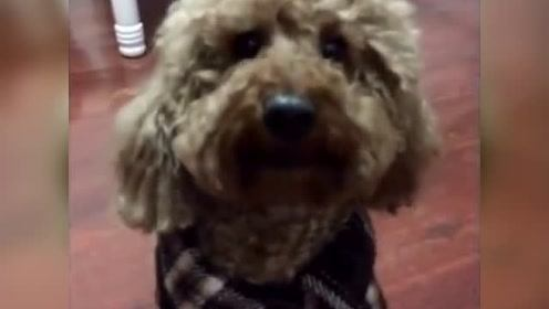 狗狗竟然学会了叫妈妈,口齿还特别清晰,狗狗:我汉语已过八级