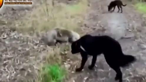 两只树袋熊打的热火朝天,一群看热闹不怕事大的狗狗跑过来围观