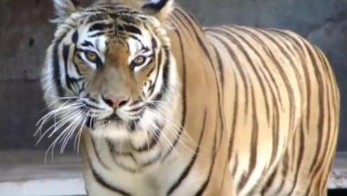 老虎四处惊恐张望,随着身体一跳而起,恐怖的事发生了