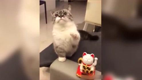 喵:喂!铲屎的,我才是你的招财猫啊!我哪一点比不上它!