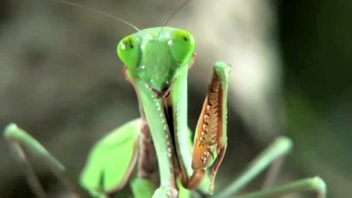 螳螂小姐能捕大蛇,真的假的,去看看!