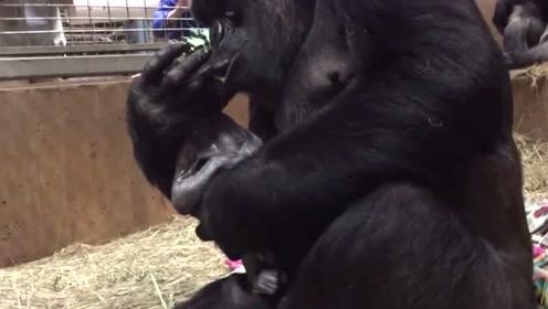 暖心!大猩猩温柔亲吻新生小宝宝