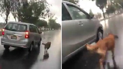 夫妇雨中开车遛狗 狗狗体力不支险丧命