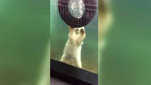 看北极熊水里的精彩表演