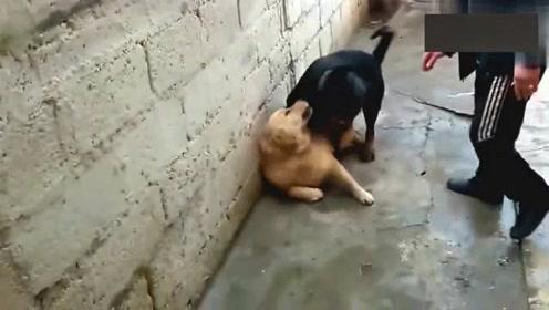 黑狗压倒黄狗,主人根本拉不开!