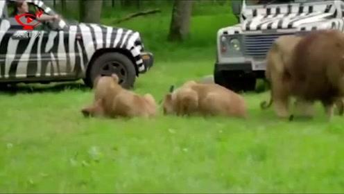遥控摄像机近距离拍摄进食狮群