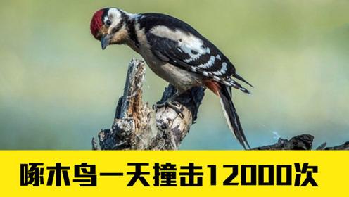撞击很容易使人脑震荡,但啄木鸟一天撞12000次,为什么没事?
