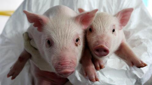 """猪心脏或很快会试用于人体?德国跨种器官移植获""""里程碑""""突破"""