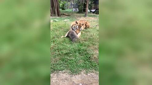 动物园的大老虎很悠闲,趴在地上舔木头,毫无野性可言