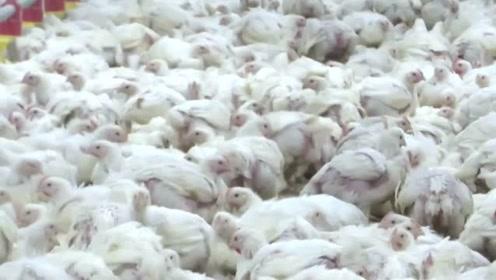 国外肯德基养鸡场 鸡的寿命只有35天看完再也不想吃了
