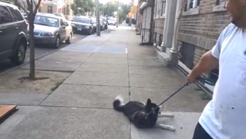二哈耍起赖皮不回家,主人都拖了好几条街,主人一句话狗子立马起身