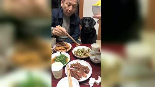 爷爷为了怕它无聊,我们吃饭也要为他打开电视解闷,太宠了!