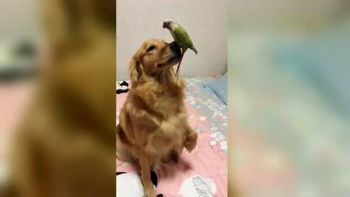 金毛和鹦鹉配合演杂技,真别说,这波表演还挺精彩的!