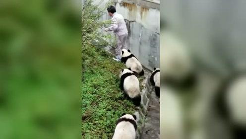 一群熊猫把饲养员缠的,饲养员心里肯定开心又无奈!