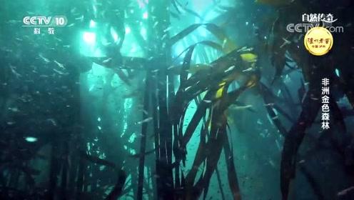 《自然传奇》南非金色的森林,绵延的海中巨藻林