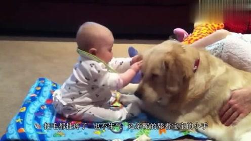 让金毛看护宝宝,结果主人大吃一惊这狗狗这些年没白疼!