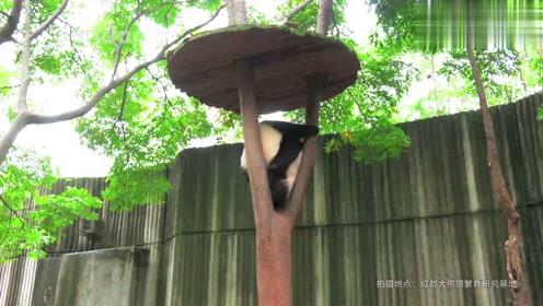 两只熊猫为了一根树杈,开始互相压对方,你们在演喜剧吗?