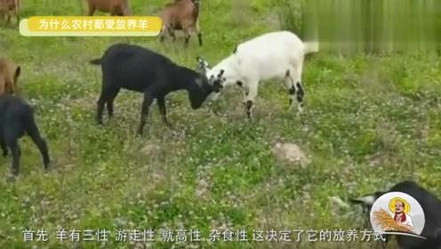羊群在农村到处可见,羊放养好还是圈养好,你知道吗?