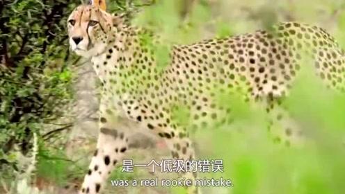 动物世界:雄羚羊追赶猎豹,竟真的把猎豹赶走了!