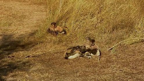 野狗们停止觅食,安静地躺在草原上,呆呆地望着远方!