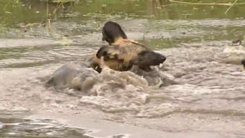 野狗们没有出去捕猎,它们聚在水中,愉快的玩闹撕咬!