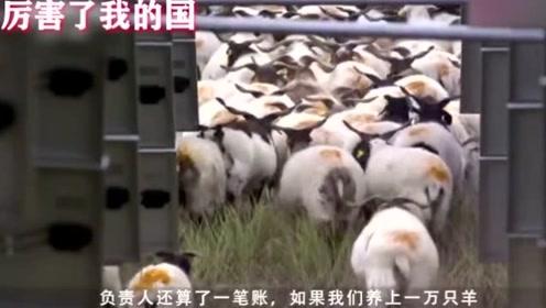 困扰世界各国的难题,中国人用了1万只羊,就轻松解决问题了!