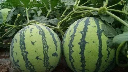 老瓜农教你挑西瓜:看准这3点,西瓜又沙又甜,瓜贩也不得不服