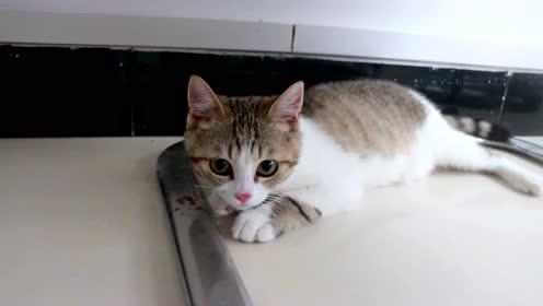 捡猫一个多月后,蛋卷越来越可爱了,外表极具迷惑性!