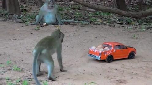 太坏了,村民把鸡蛋放在遥控汽车上戏弄猴子,猴子被耍的团团转