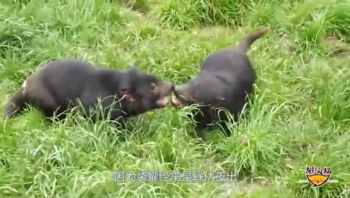 史上和平头哥相似的动物,同样吃蛇,攻击力非常强悍!