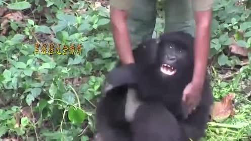 大猩猩缠着饲养员,无奈之下打了猩猩一巴掌,下一秒请憋住别笑!