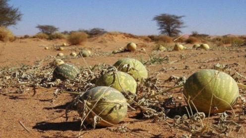 """沙漠中的""""西瓜""""为什么不能摘?有位游客不听,结果付出严重代价"""