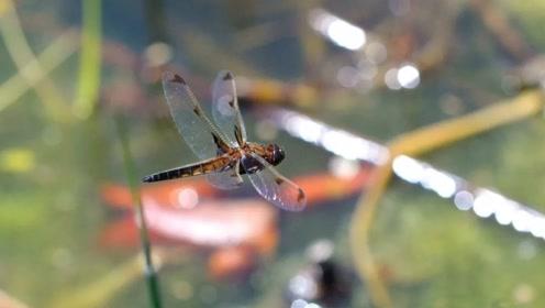 天津发现极度濒危蜻蜓,栖息地面临施工可能导致灭绝
