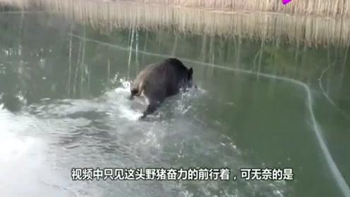野猪被困在结冰的湖面上,下一秒请憋住别笑,镜头拍下全过程!