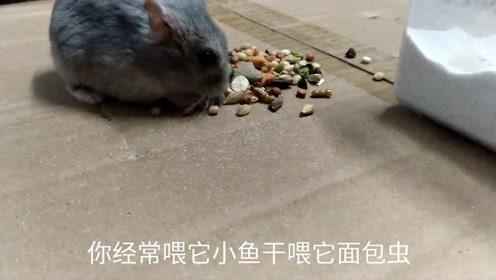 一直喂仓鼠,小鱼干和面包虫,还会把仓鼠喂的挑食,后果不好