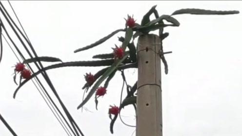 不可思议!5米高电线杆上竟长出7颗红彤彤的火龙果
