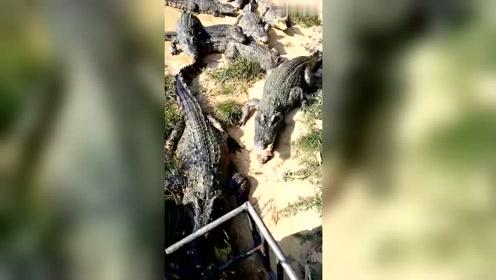 这种喂鳄鱼的工作真的很危险