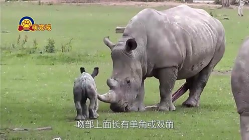 """犀牛和水牛起冲突,2个大家伙干上了!""""牛魔王""""称号花落谁家?"""