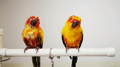 一个听话会展翅,两个不听话还闹腾,同样是鸟差距怎么这么大呢?