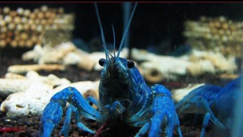 被日本评为最幸福的虾 还是文莱皇室御用 有什么不同