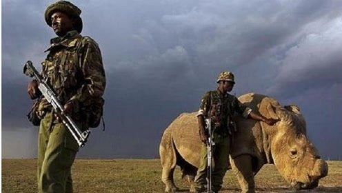 世上最稀有动物,仅剩一只,四十多名装备武士持枪昼夜看护