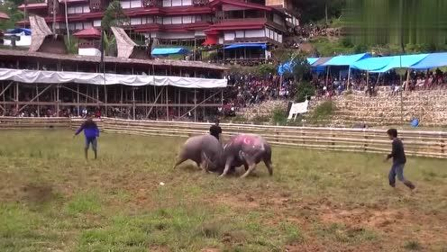 乡村自发举行牛王争霸赛,公牛直接挑战牛王,实力更是非同凡响!