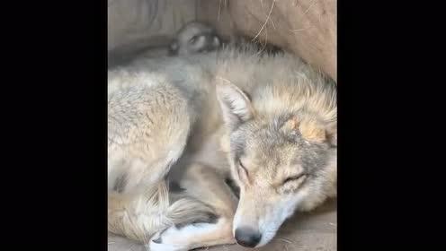色狗狼窝_近距离看一下狼窝里的小狼!真是太可爱了!感觉和狗子长得很像!