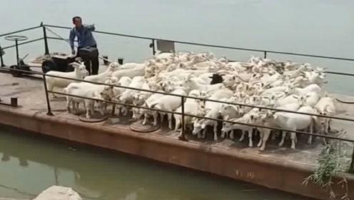 这只羊是高手,跳上船那一瞬间太帅了,竟完美的避开了栏杆