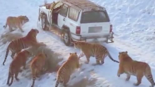 十几只老虎包围一辆汽车,司机扔出一只动物,老虎们就一哄而散