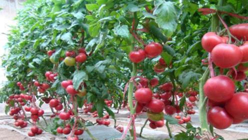 在家种西红柿时,只需丢点它,西红柿又大又红,比买的肥料还管用