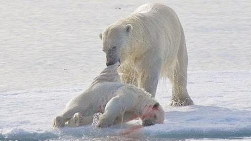 残忍:北极熊狠起来连孩子都吃,网友:再也不觉得北极熊可爱了
