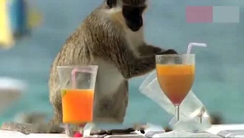 男子喂猴子喝酒,猴子一口喝光活像个老醉汉