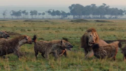 狮子捕猎大水牛,不料水牛陷进泥潭,自己也跟着一命呜呼